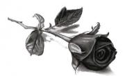 Czarna róża